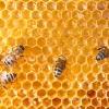 นมผึ้งคืออะไร ? มาจากส่วนไหนของผึ้ง